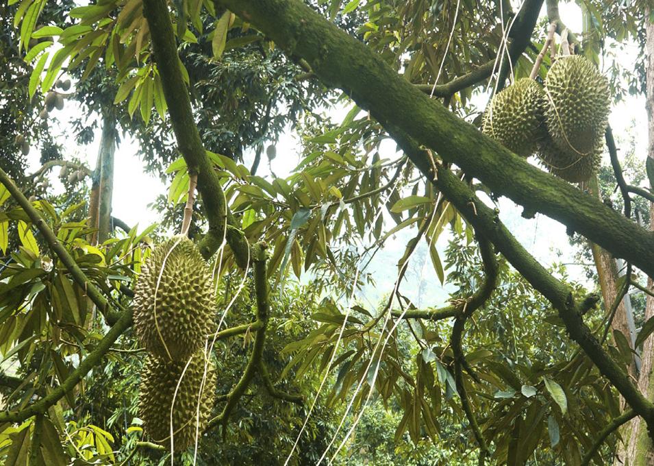 agrobridge-durian-cropped